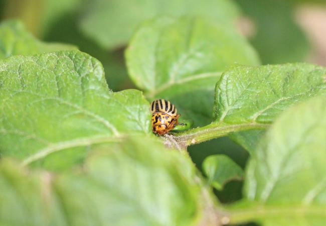 Colorado Potato Beetle SPUDMAN